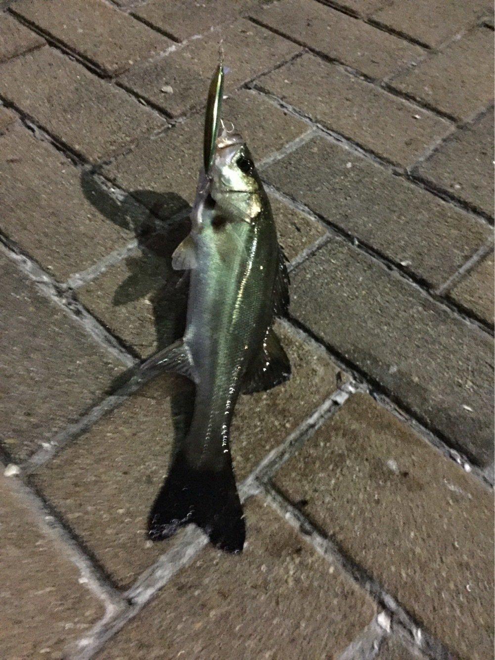 ルイージさんの投稿画像,写っている魚はスズキ