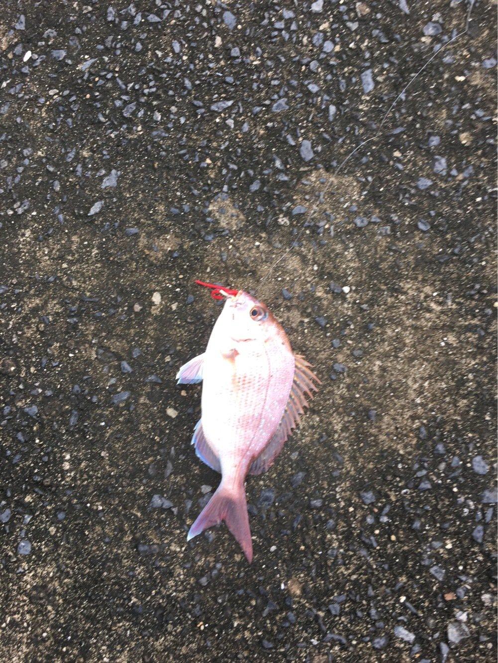 masaさんの投稿画像,写っている魚はマダイ