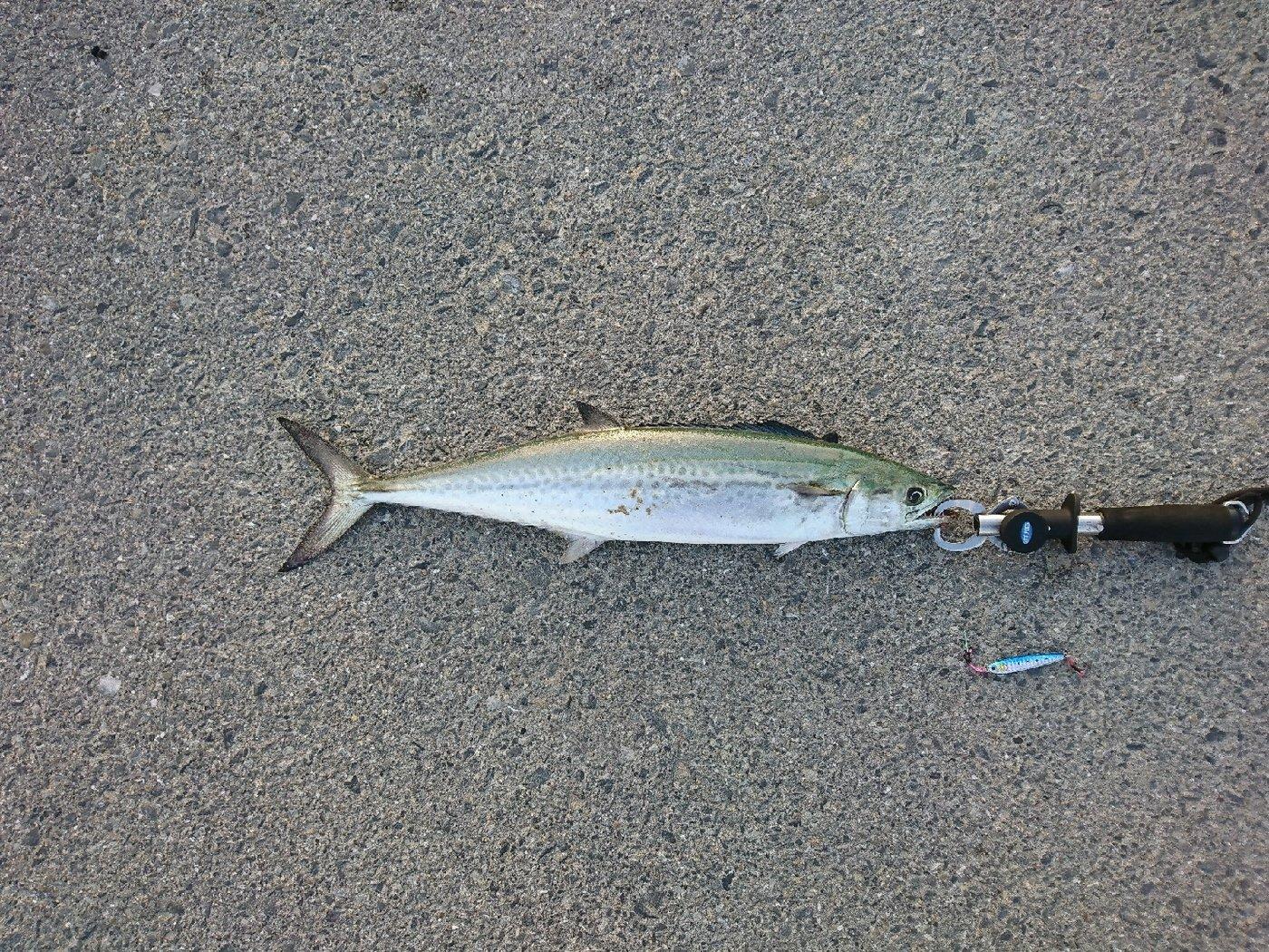 ゆきちさんの投稿画像,写っている魚はサワラ
