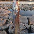 かずきんさんの兵庫県でのタチウオの釣果写真