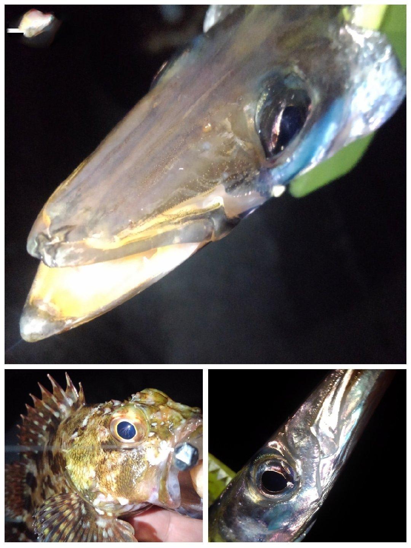 KRO さんの投稿画像,写っている魚はカマス,カサゴ