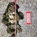 ヨッシーさんの三重県津市でのタケノコメバルの釣果写真
