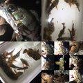 かいさんの神奈川県藤沢市でのカサゴの釣果写真