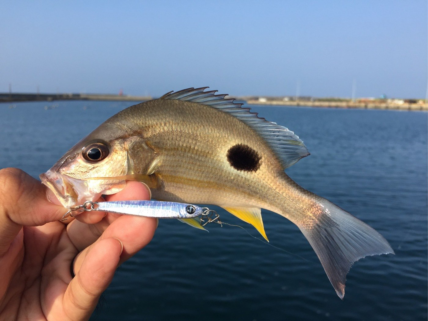 MSKさんの投稿画像,写っている魚はクロホシフエダイ