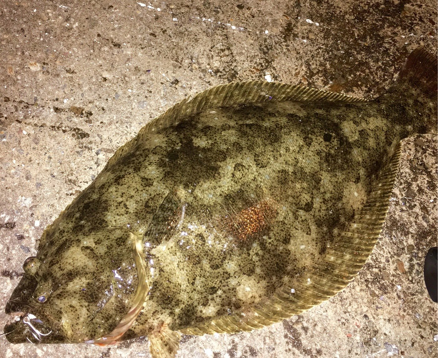 0138STYLEさんの投稿画像,写っている魚はヒラメ