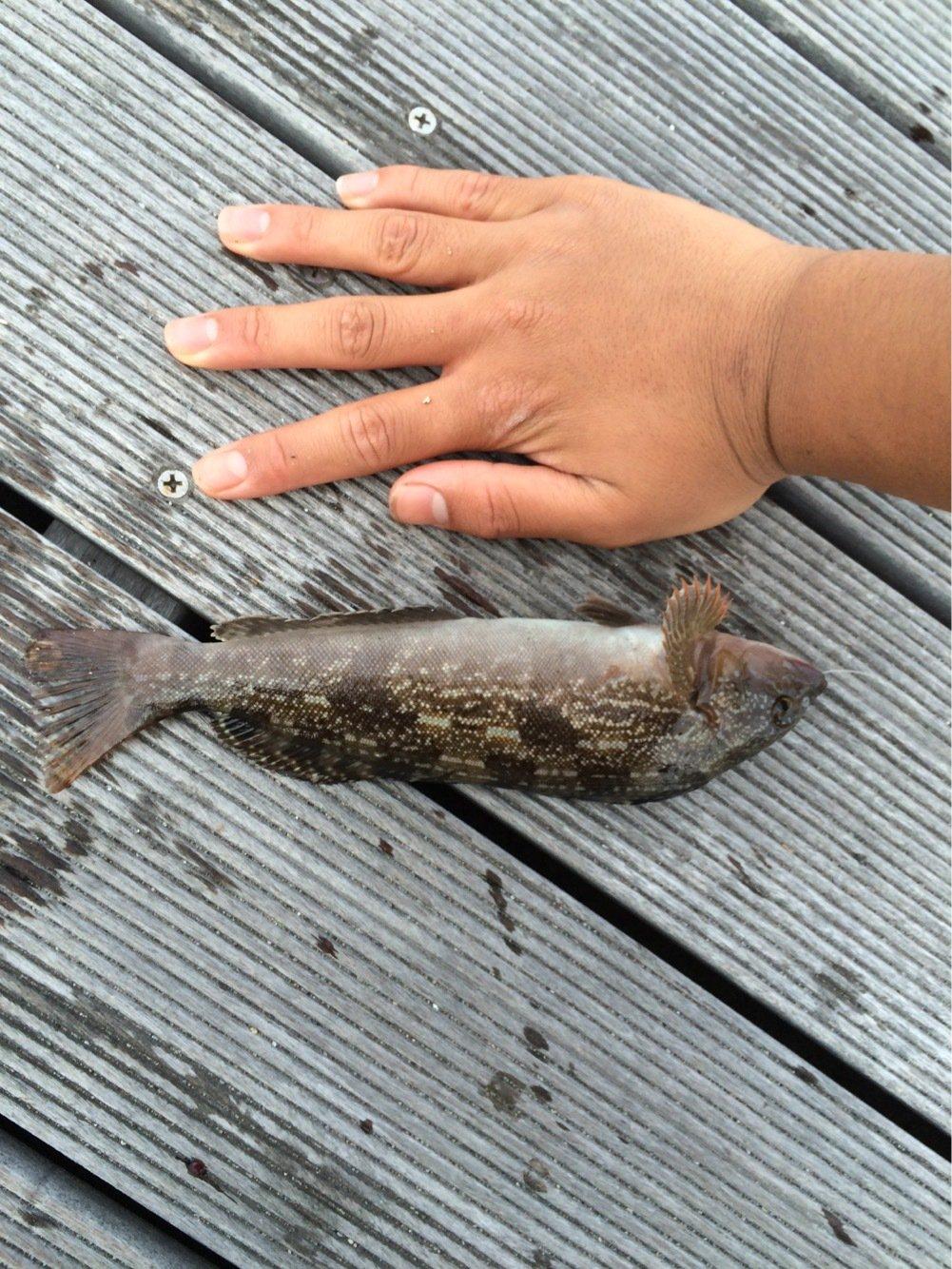 APOLLOさんの投稿画像,写っている魚はアイナメ