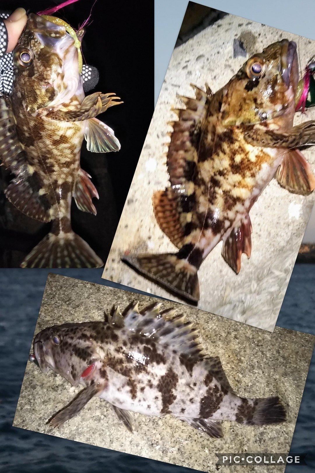 snufkin49さんの投稿画像,写っている魚はタケノコメバル,カサゴ