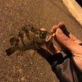 オッスさんの岡山県玉野市での釣果写真