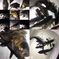かいさんの神奈川県鎌倉市でのカサゴの釣果写真