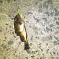koarerさんの福岡県中間市での釣果写真