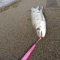 onirokuさんのアメマスの釣果写真