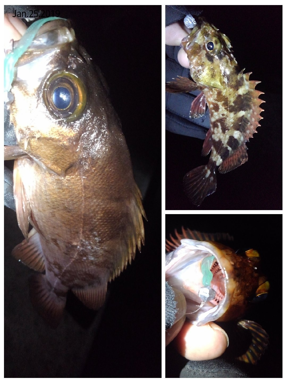 KRO さんの投稿画像,写っている魚はカサゴ,メバル