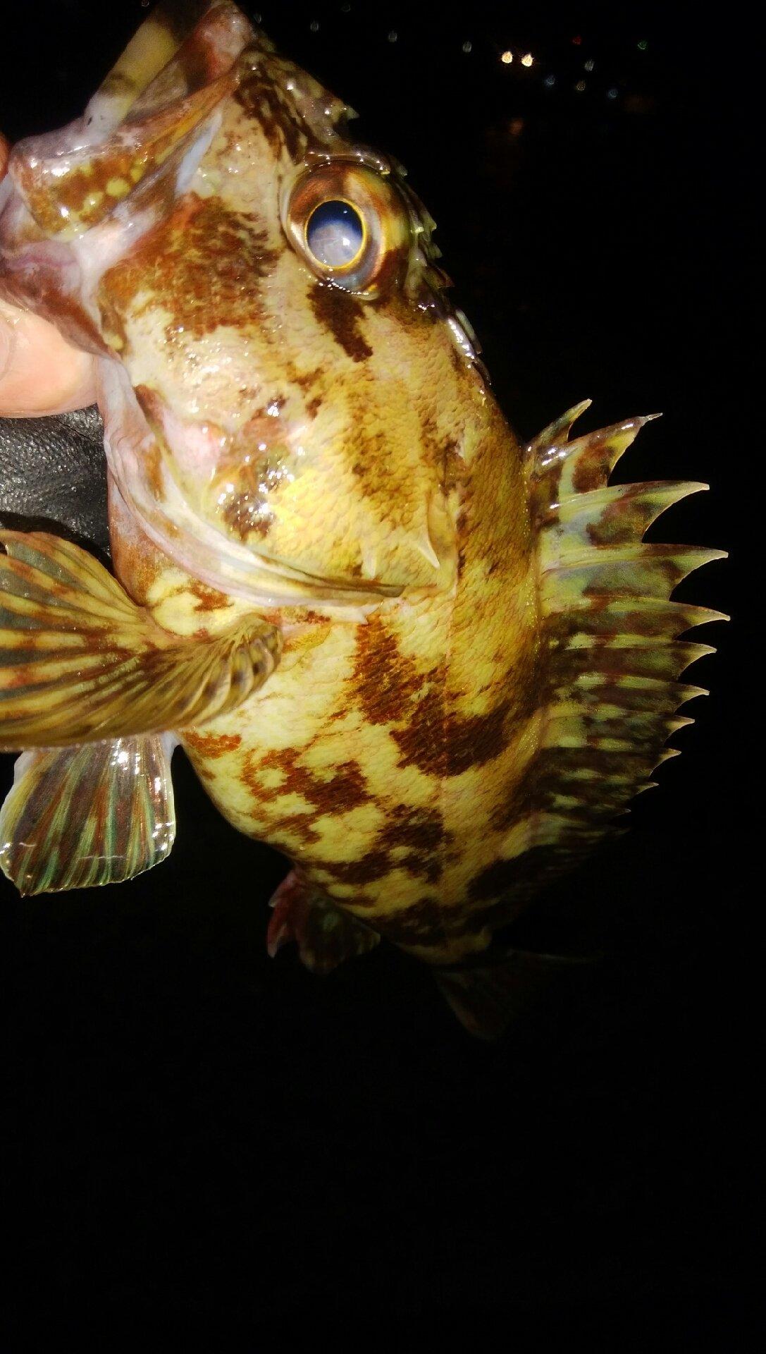 穴吹あきひろさんの投稿画像,写っている魚はカサゴ