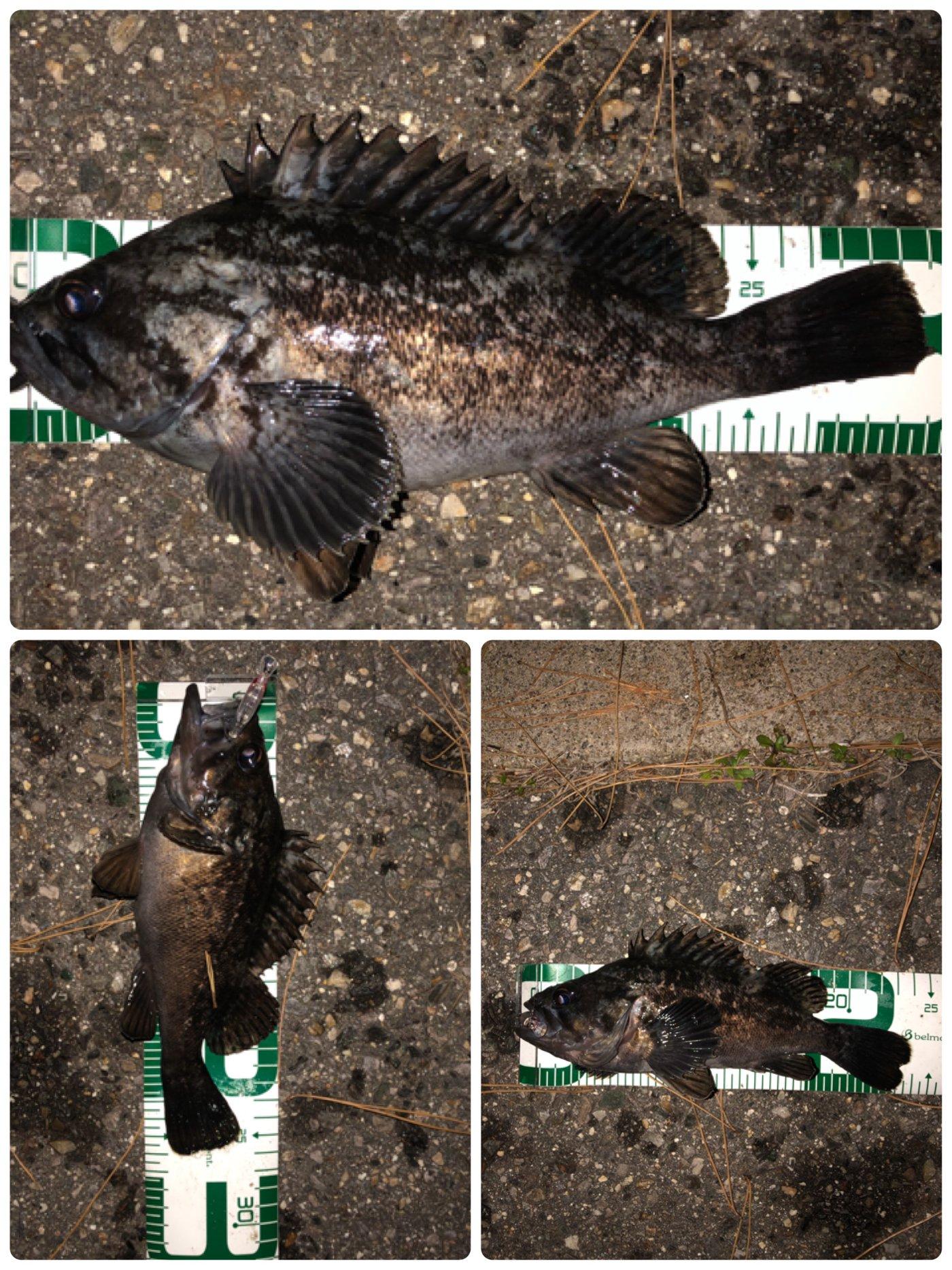 ポールさんの投稿画像,写っている魚はクロソイ