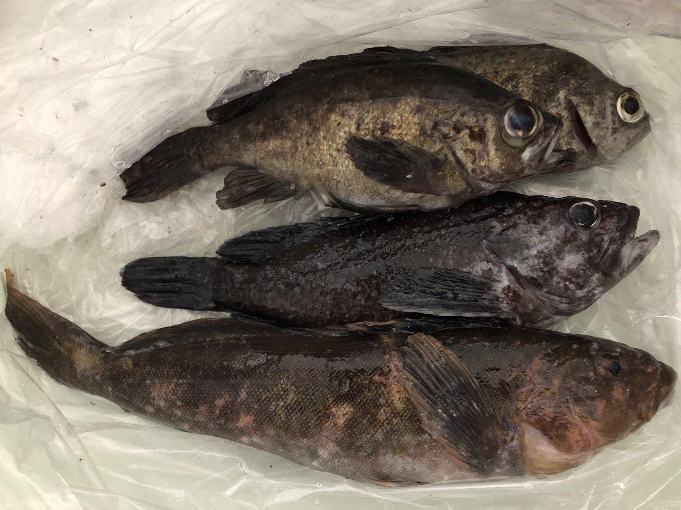 エクイップ2さんの投稿画像,写っている魚はメバル,ソイ,アイナメ