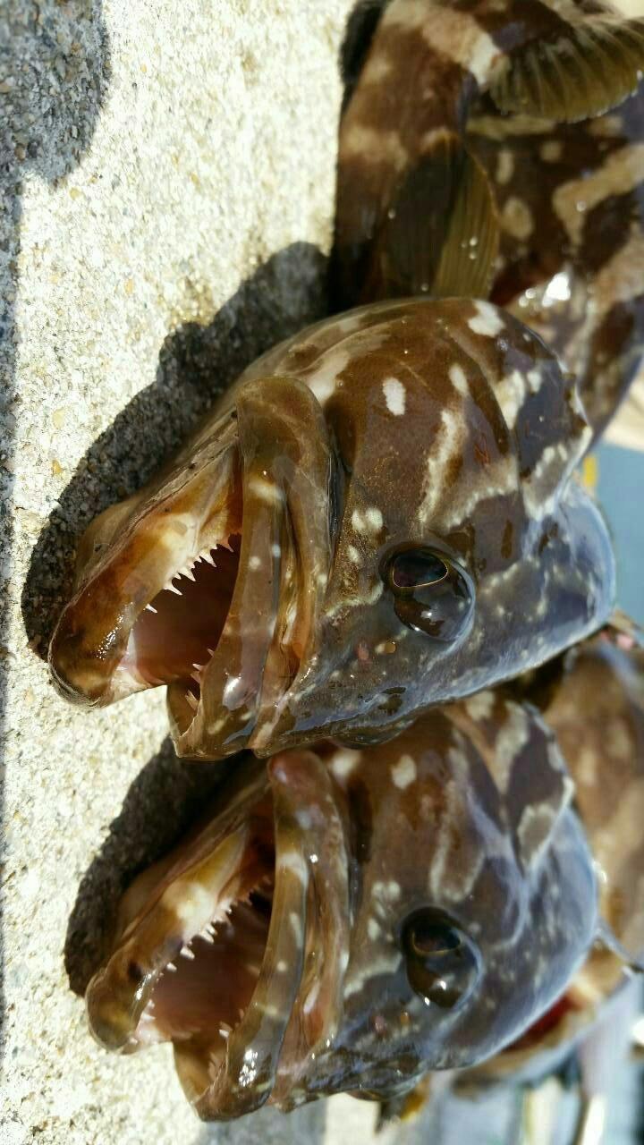 。 は る なさんの投稿画像,写っている魚はアオハタ