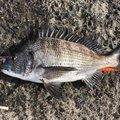 ザッキーさんの広島県でのクロダイの釣果写真