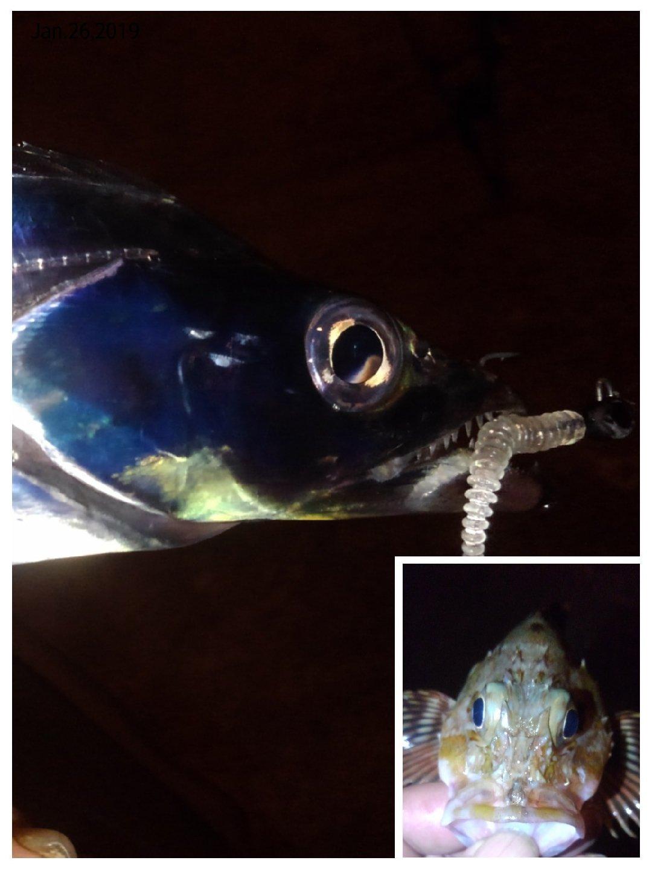 KRO さんの投稿画像,写っている魚はカサゴ,タチウオ