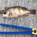Tomokiさんの広島県三原市での釣果写真