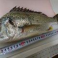 釣りいきまっか!さんの大阪府泉北郡での釣果写真