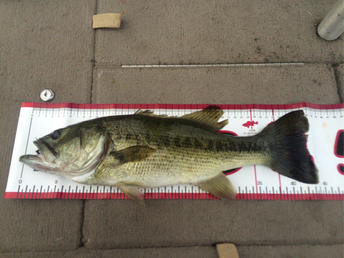 ボンバーマンさんの投稿画像,写っている魚はブラックバス