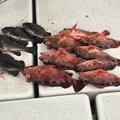ひろゆきさんの兵庫県でのメバルの釣果写真