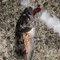 たたさんの岩手県久慈市での釣果写真
