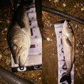 マンボウさんの千葉県浦安市での釣果写真