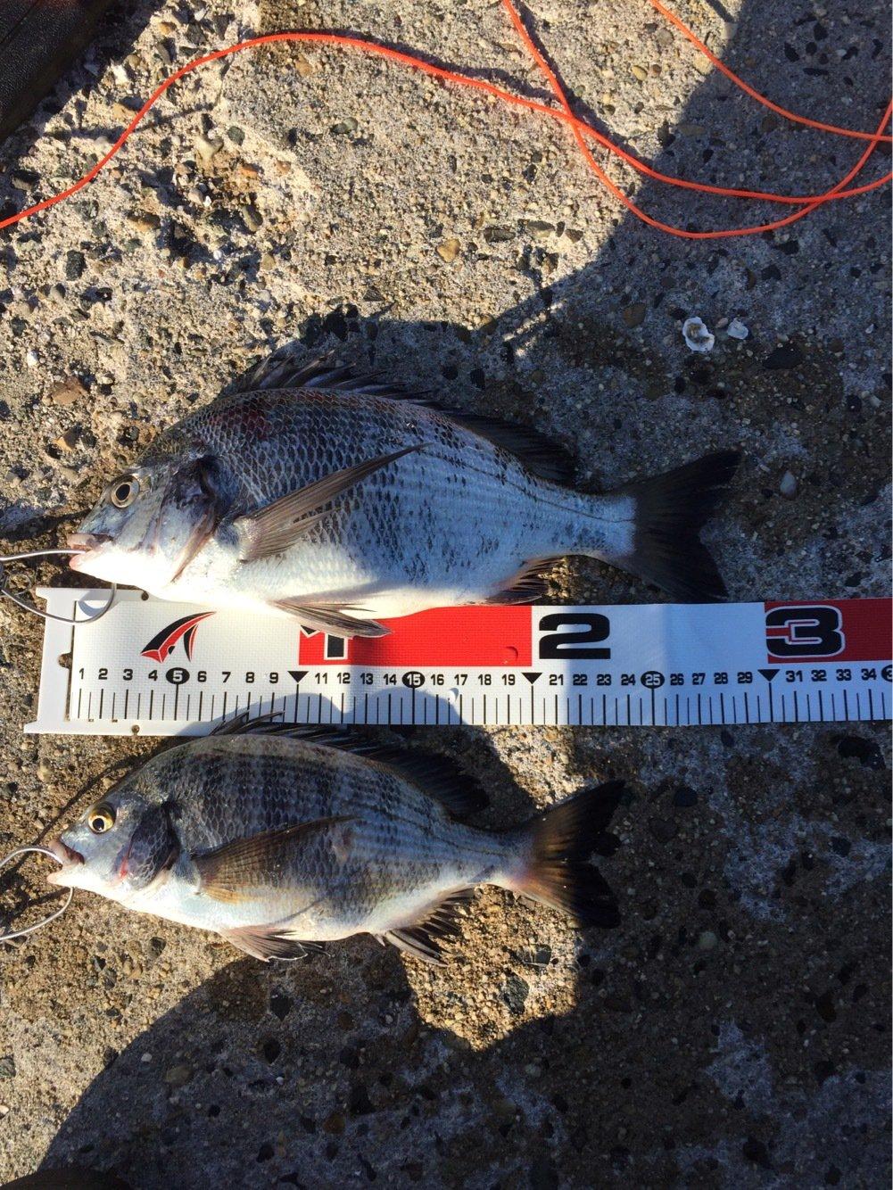 ササキさんの投稿画像,写っている魚はクロダイ