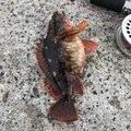 アグースさんの神奈川県逗子市でのカサゴの釣果写真
