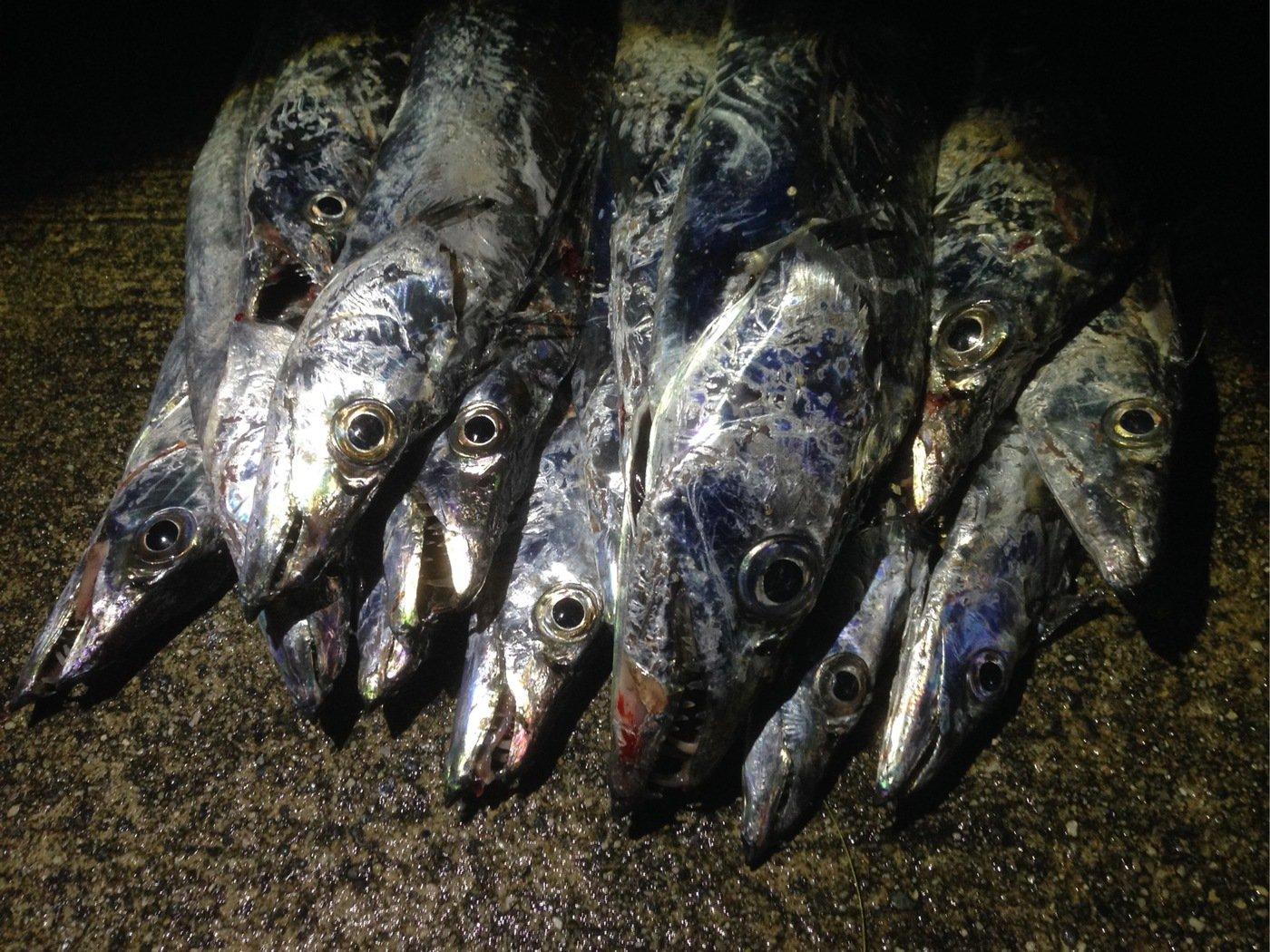 しょうとさんの投稿画像,写っている魚はタチウオ
