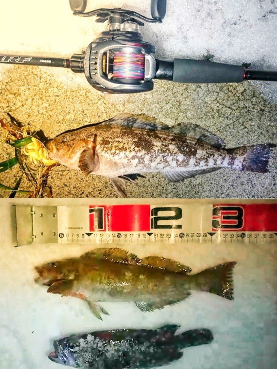 漢棒さんの投稿画像,写っている魚はアイナメ