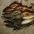 仁志さんの山口県大島郡での釣果写真