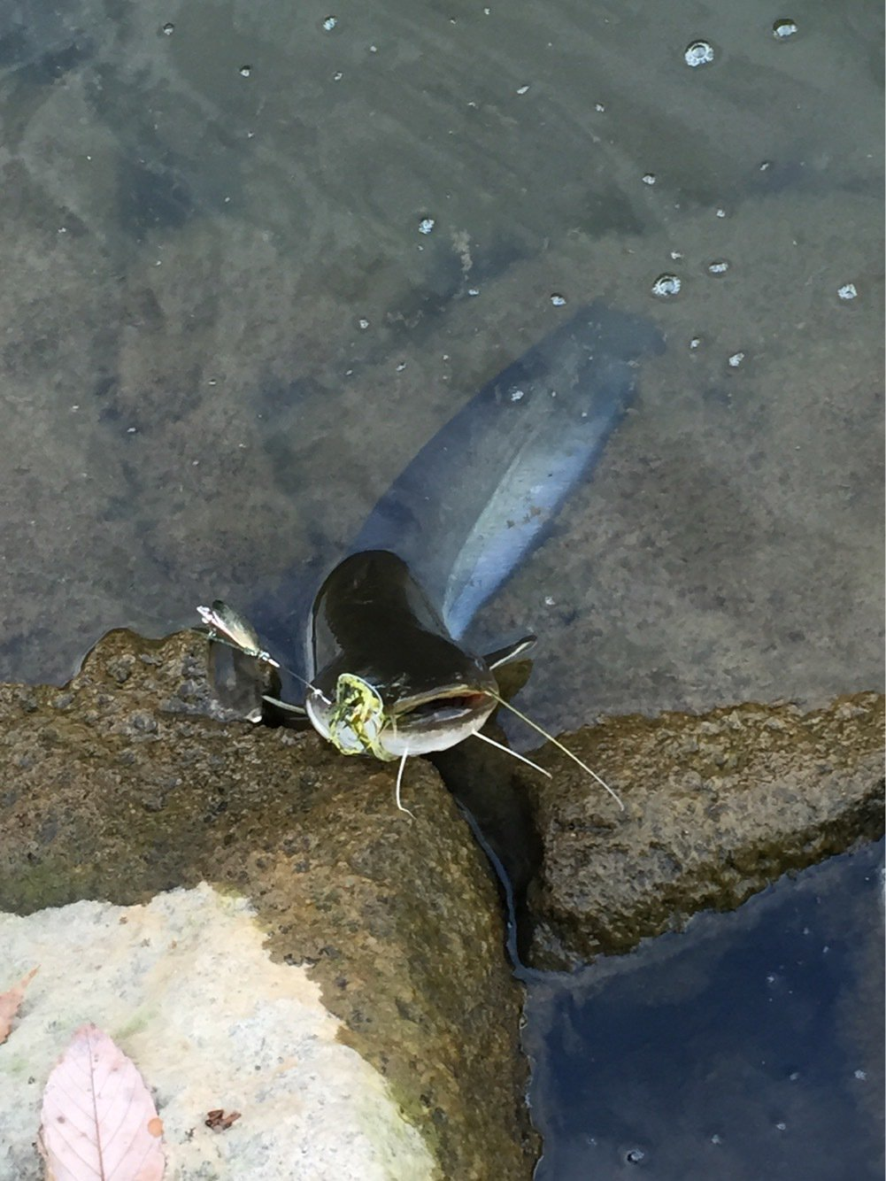 大隅カツ太郎さんの投稿画像,写っている魚はナマズ