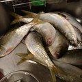 釣りバカ隼人さんの神奈川県秦野市での釣果写真
