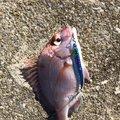 モビさんの長崎県松浦市での釣果写真