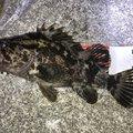 きんたさんの香川県坂出市でのタケノコメバルの釣果写真