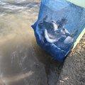 テラさんの岐阜県羽島郡での釣果写真