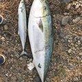 カサゴニゴさんの宮崎県日向市での釣果写真