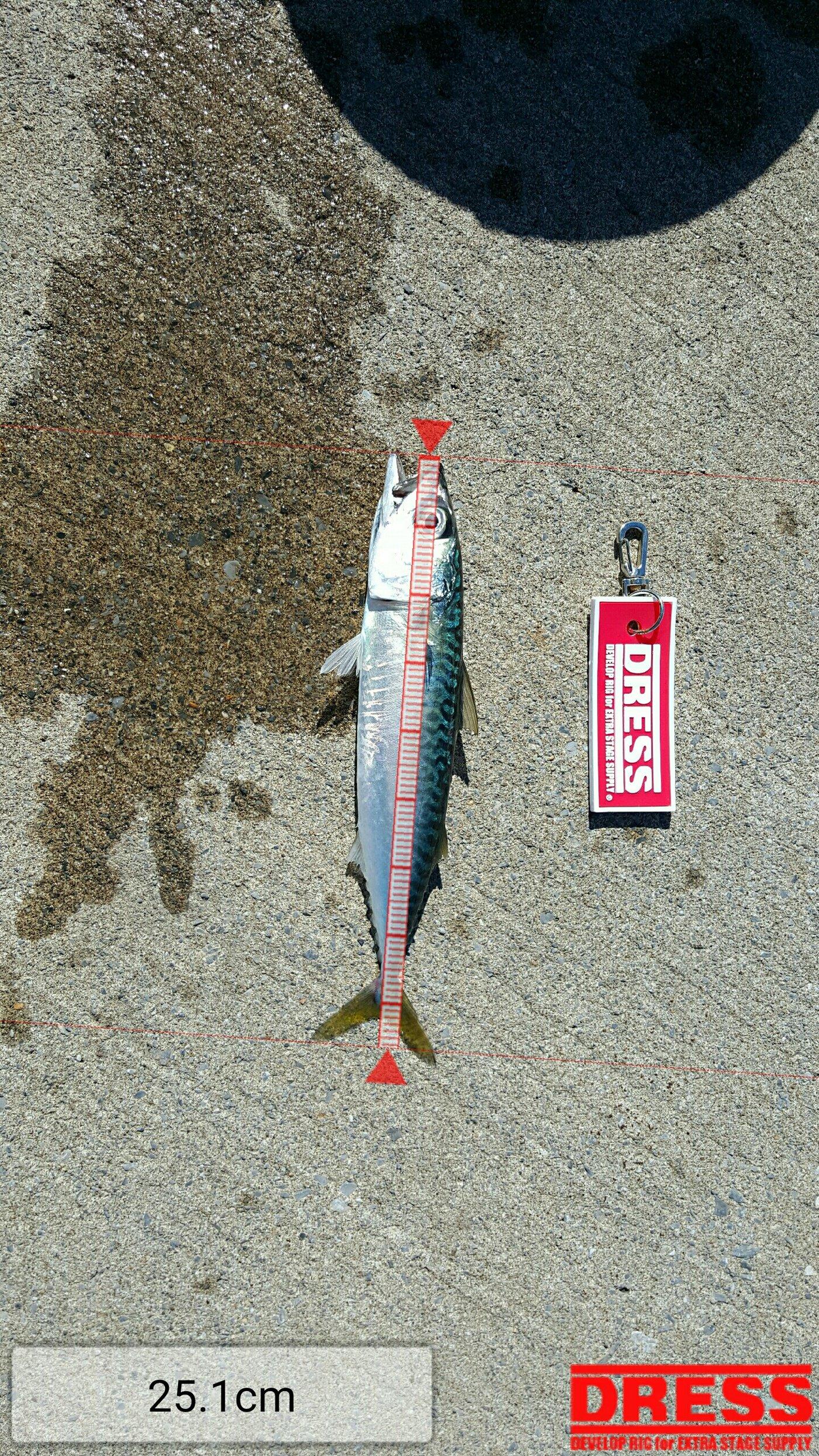 よしゆきさんの投稿画像,写っている魚はマサバ