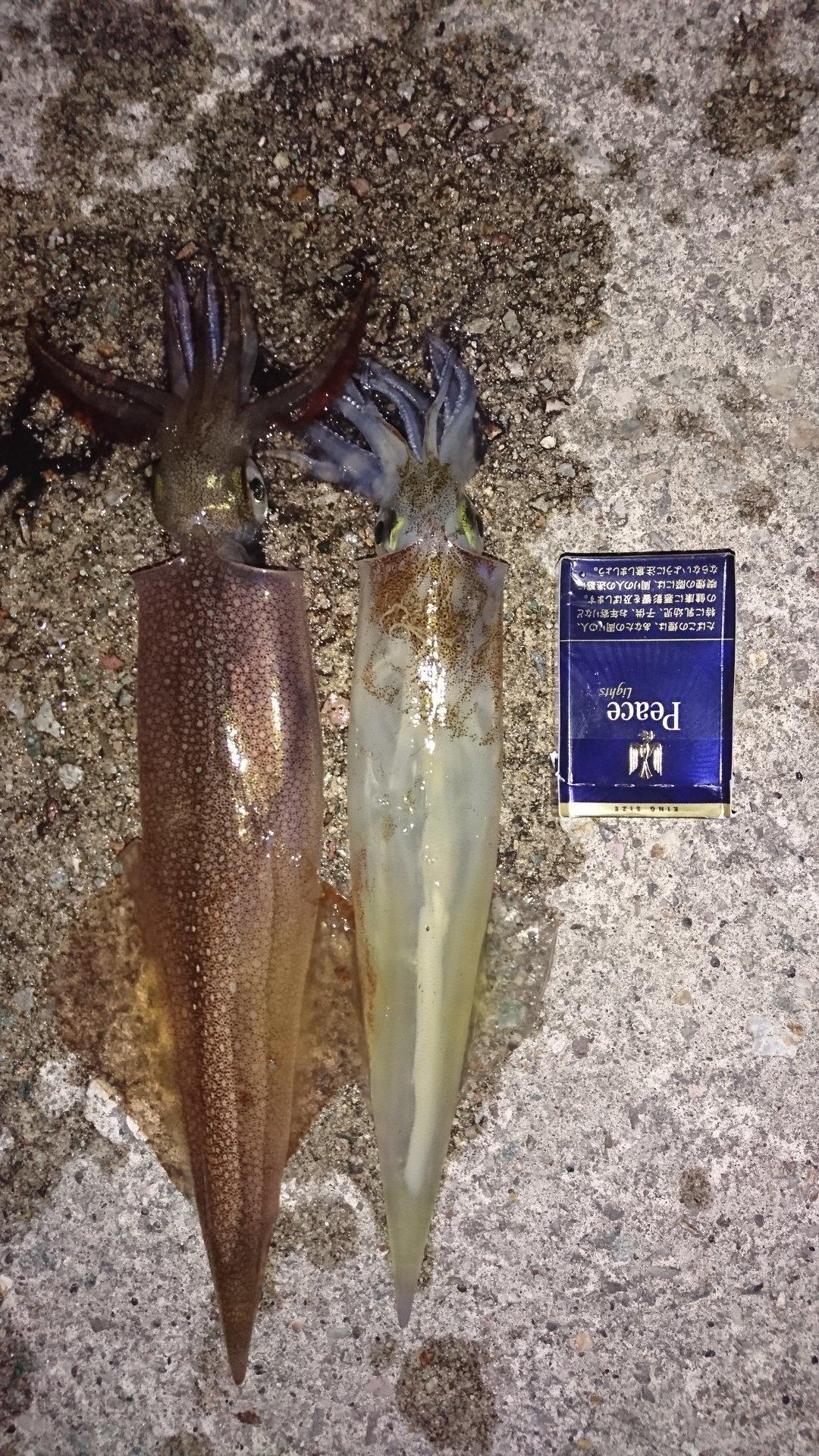 そうたさんの投稿画像,写っている魚はヤリイカ