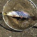 スーさんの千葉県旭市での釣果写真