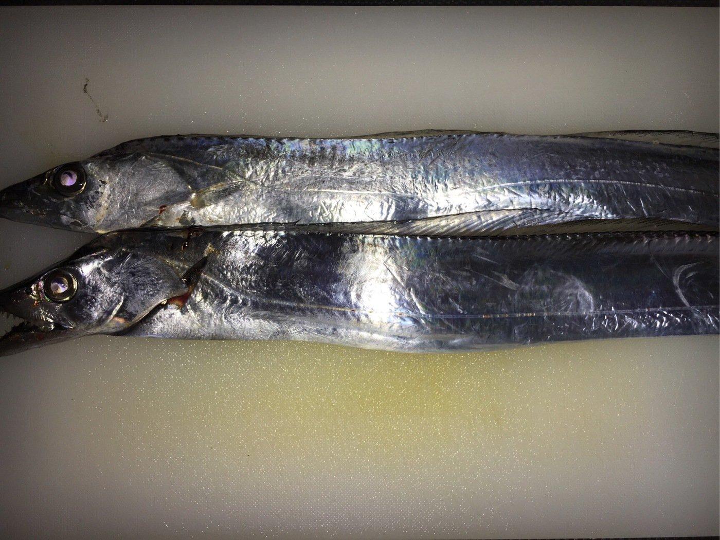 マリさんの投稿画像,写っている魚はタチウオ