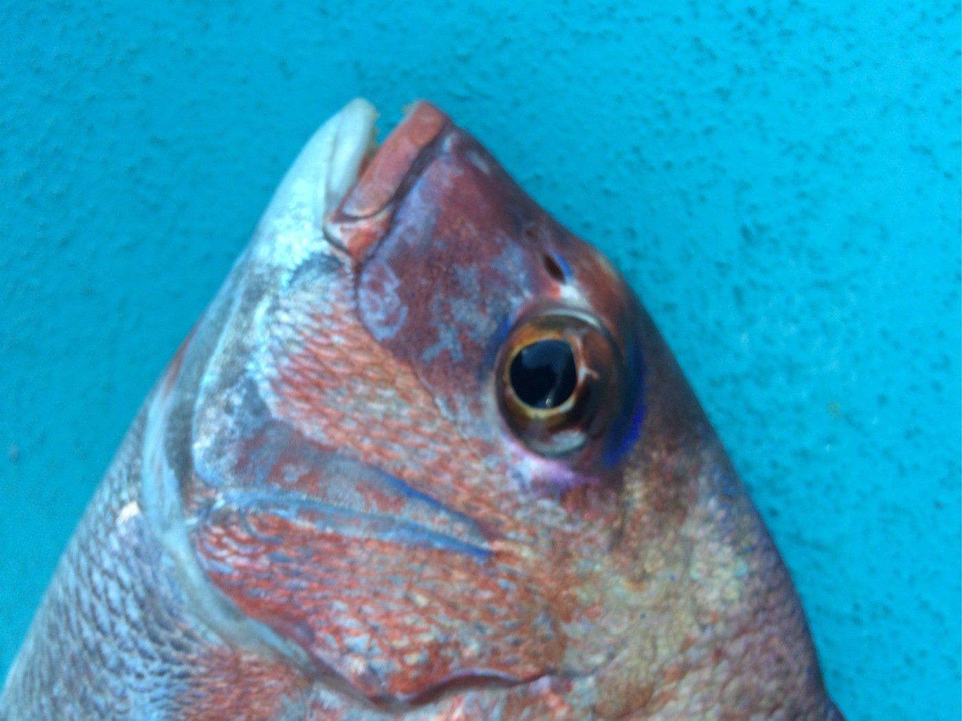 ヒロポンさんの投稿画像,写っている魚は