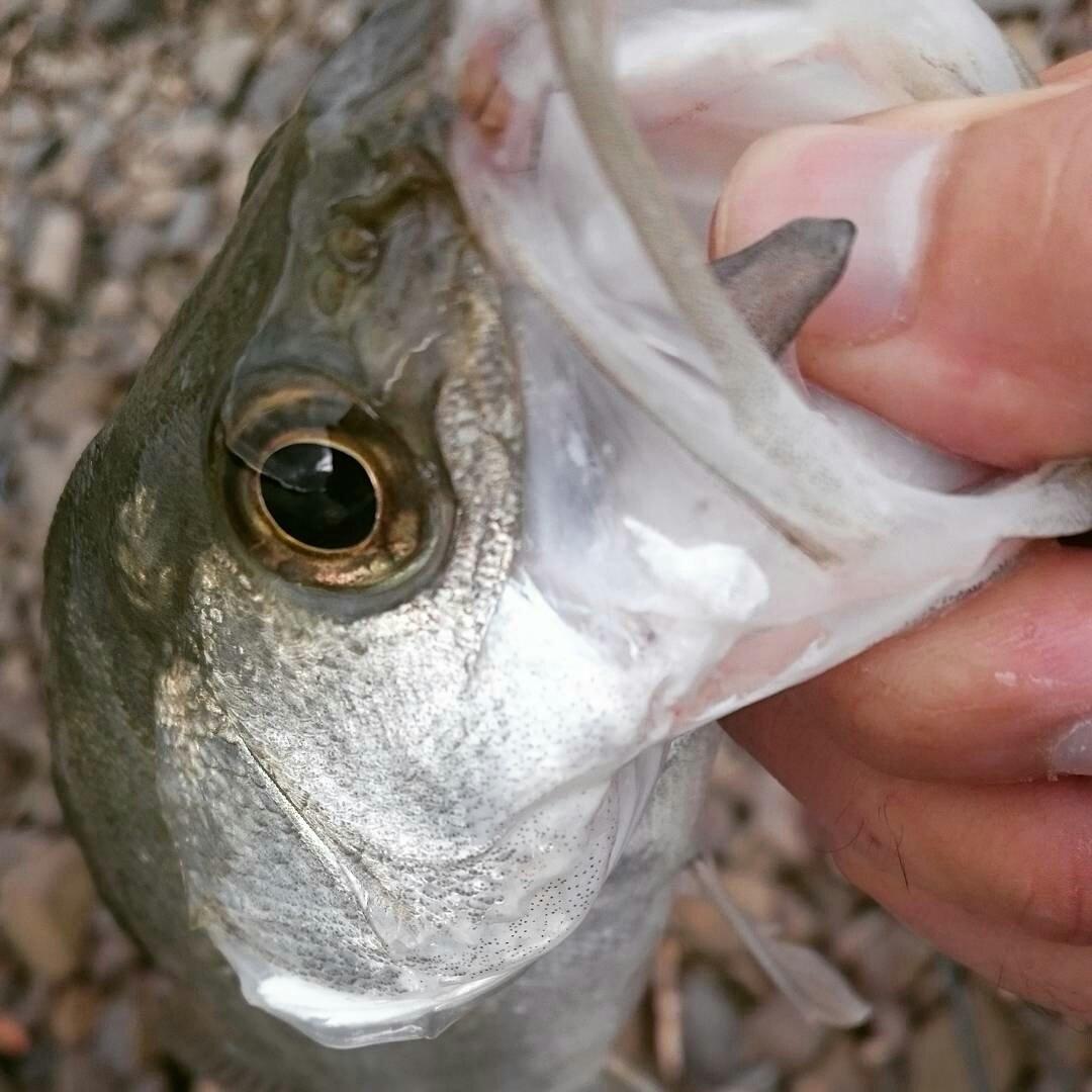 チープさんの投稿画像,写っている魚はスズキ