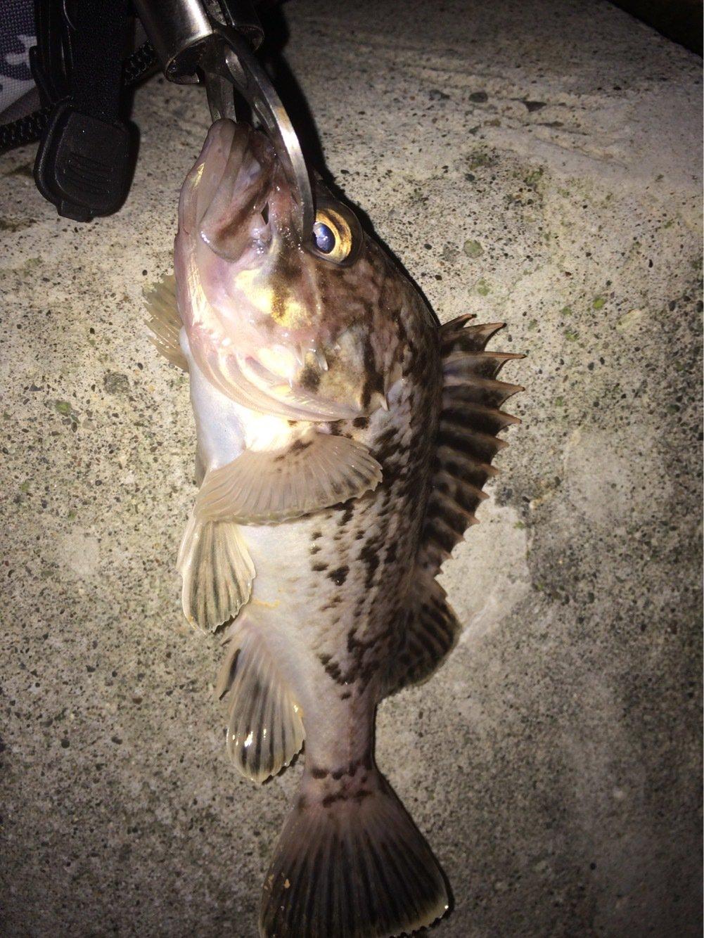 くまーらいおんさんの投稿画像,写っている魚はソイ