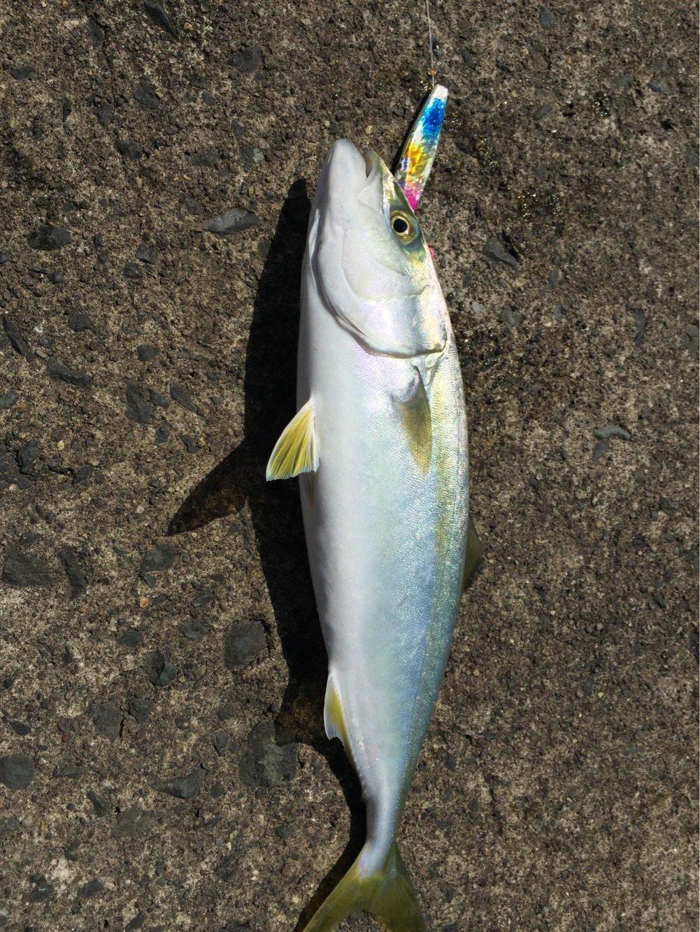 やまさんの投稿画像,写っている魚はブリ