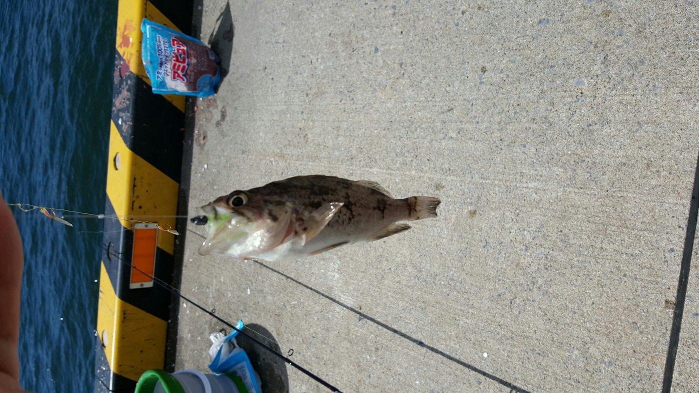 よしゆきさんの投稿画像,写っている魚はクロソイ