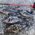 makoto29さんの愛知県でのタケノコメバルの釣果写真