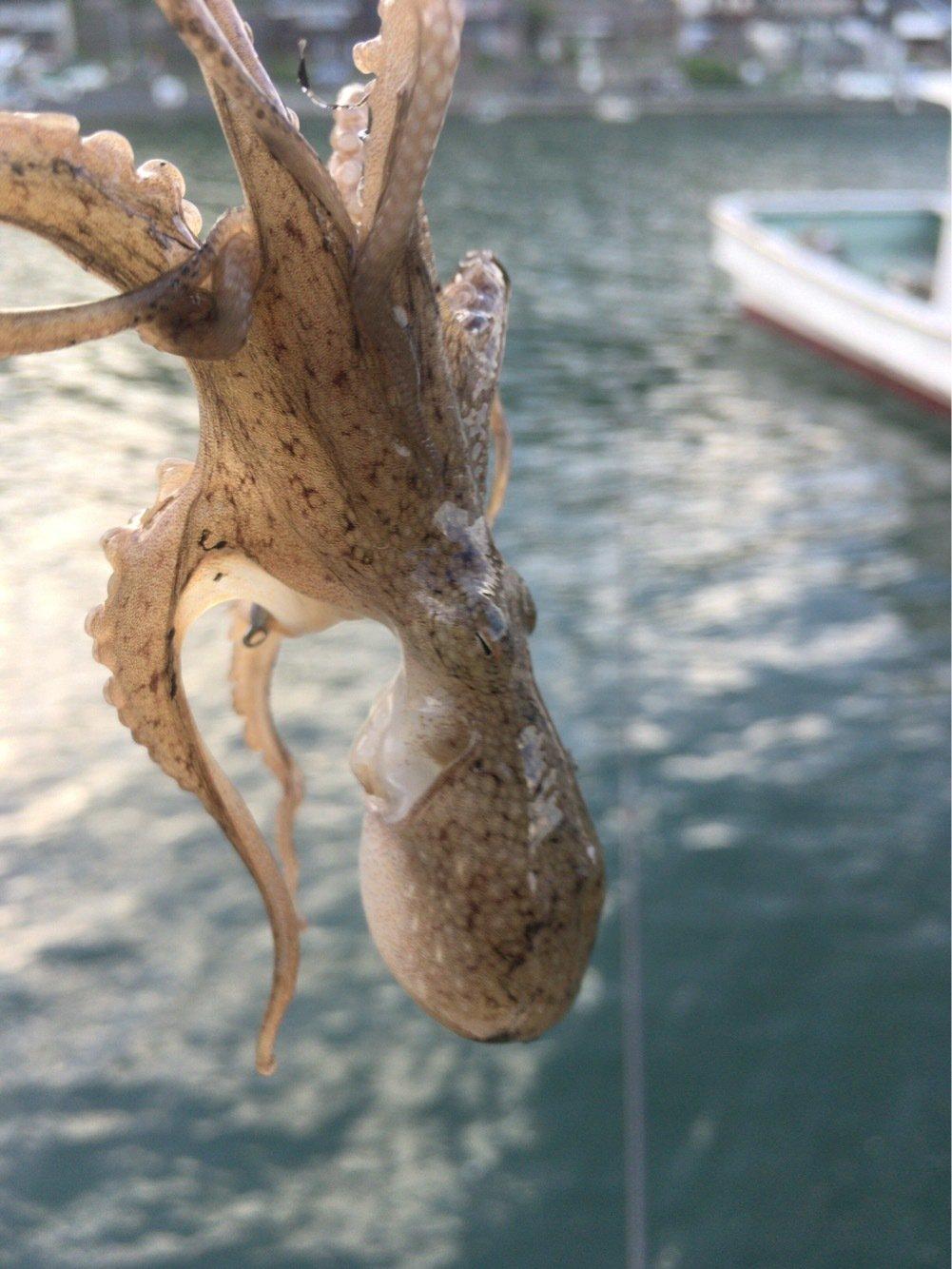 釣りでもしようさんの投稿画像,写っている魚はイイダコ